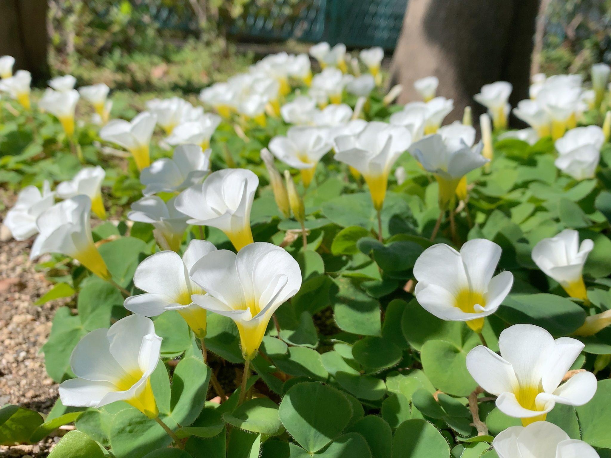 クローバーの白い花